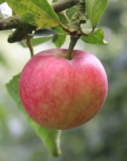 apple-closeup